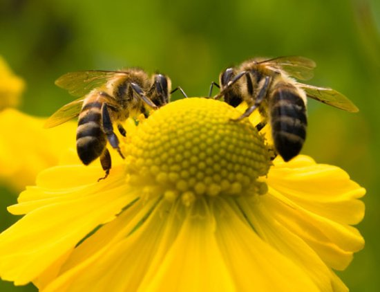 Image result for image of honey bees