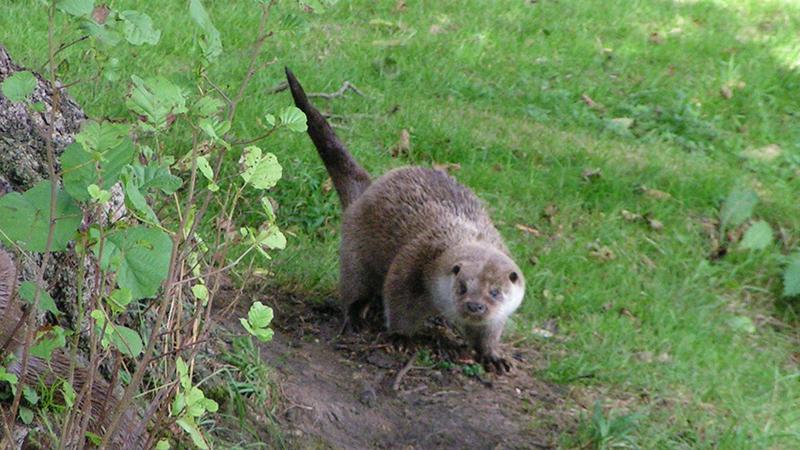 Sprainting Eurasian otter